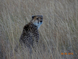 CheetahDiscovered