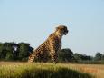 CheetahAlert