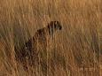 CheetahCloser
