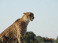 CheetahYES