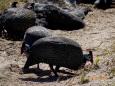 Pigbirds11