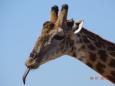 GiraffTongue