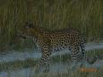 LeopardWalks