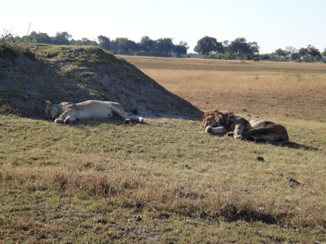 LionCoupleSleep