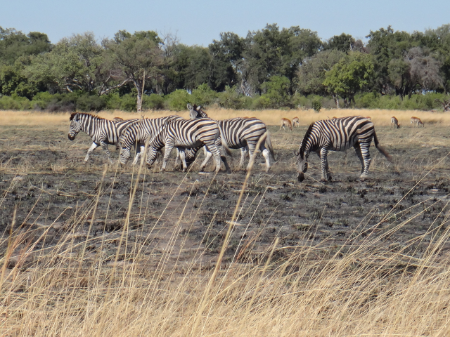 ZebrasRedback