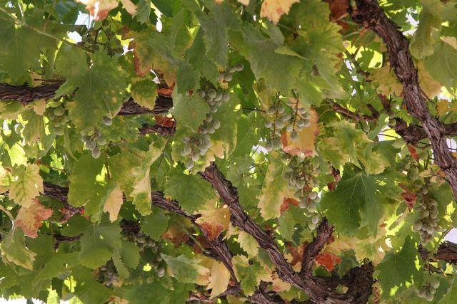 Grapes of Sacromonte